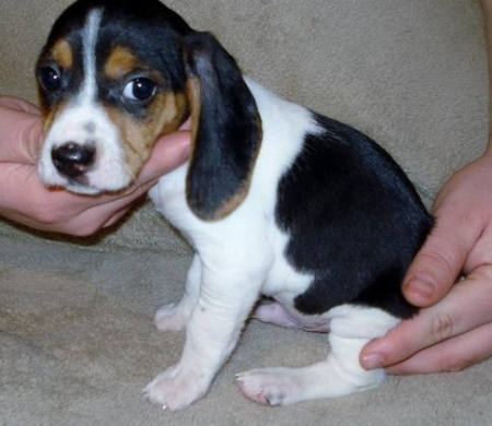 Dgaw Beagle Puppies For Sale