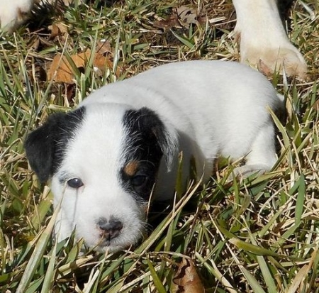 Gsga Jack Russell Terrier Puppies for Sale