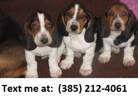 Asfg Basset Hound Puppies For Sale