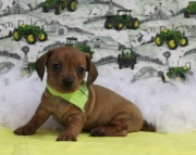 gkg Dachshund Puppies For Sale