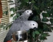 dgdf African grey parrots for sale