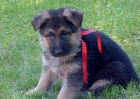 Vds German Shepherd Dog Puppies For Sale