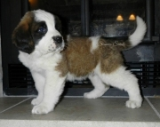 dafw Saint Bernard Puppies For Sale
