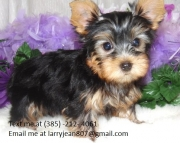 etqa Yorkshire Terrier Puppies For Sales