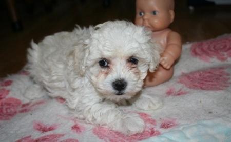 Faa Malti Poo Puppies for Sale