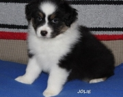 dgsa Australian Shepherd Puppies For Sale