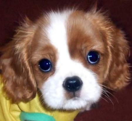 KING CHARLES SPANIEL Puppies For Sale  971x231x5532