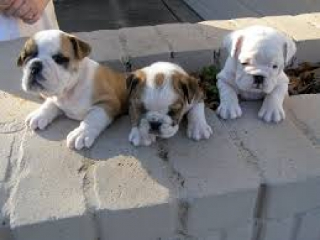 Cute English Bulldog Puppies Now Available 971x231x5532
