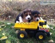 Excellent Beagle puppies for Sale 971x231x5532