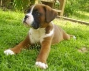 Boxer puppies for Sale 971x231x5532