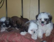 Shih Tzu Pups available for sale
