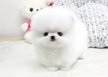 Pomeranian Puppies for Sale 971x231x5532