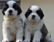 SAINT BERNARD FROM CHAMPION BLOOD LINE 971x231x5532