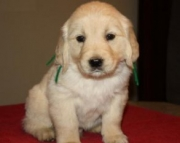 Golden Retriever Puppies for Sale 971x231x5532