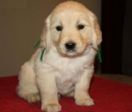 Golden Retriever Puppies for Sale 971x231x5532