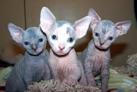 Cute Hairless Sphynx Kittens 971x231x5532