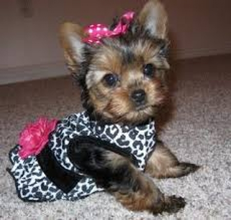 Male And Female Yorkie Puppies 971x231x5532