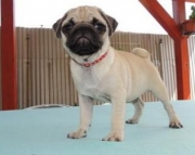 fhgfhfhg pug puppies for sale !!!!dfsg 971x231x5532