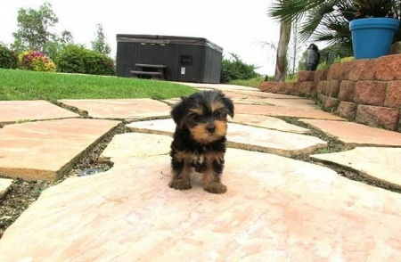 Yorkie Puppies Avilable for New Home 971x231x5532