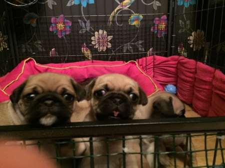 AKC Home Bred Pug Puppies Available 971x231x5532
