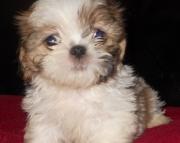 Gorgeous shih tzu puppies all ready 971x231x5532