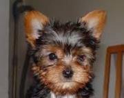 Yorkie Puppies Males & Females 971x231x5532