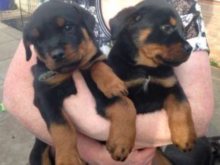 Well Trained Rottweiler Puppies 971x231x5532 for New Homes