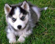 Akc Pure Breed Siberian Husky Puppies. 971x231x5532