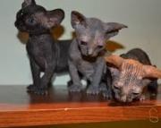 Beautiful Sphynx Kittens 971x231x5532
