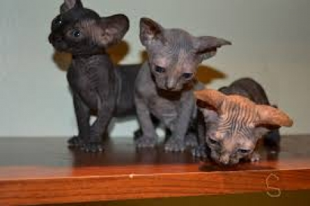 Beautiful Sphynx Kittens 971x231x5532
