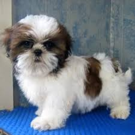 Adorable Male And Female Shih Tzu Puppies 971x231x5532