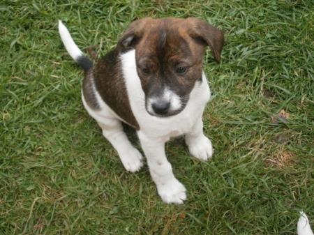 Beautiful True Black/White Jack Russel Pups 971x231x5532