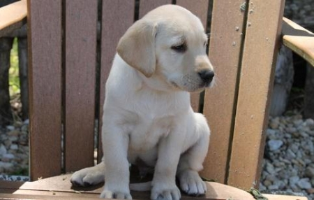 Two Labrador Puppies 971x231x5532