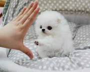 Two Awesome T-Cup Pomeranian Puppies 971x231x5532