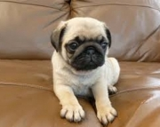 Registered Purebred Pug Puppies 971x231x5532