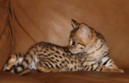 Yui Bengal Kittens for Sale