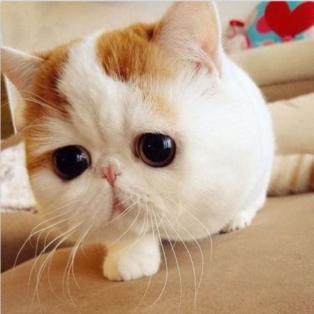 W Exotic Shorthair Kittens for Sale