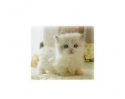 Pretty looking munchkin kitten for sale Male/Female Available