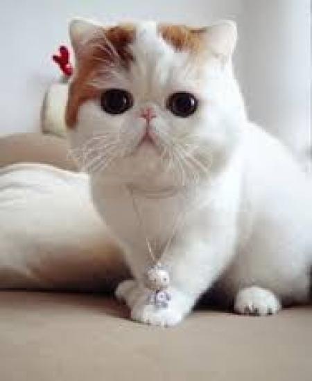 Exotix Shorthair Kittens for Sale