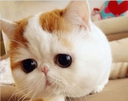 ccv exotic shorthair kittens for sale