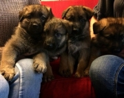German Shepherd Dog puppies for sale
