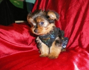 finests Yorkshire Terrier puppies for sale