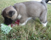 Accurate Akita PUPPIES FOR CARING HOME