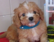Creditable Cavapoo puppies for your kids