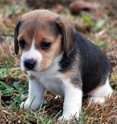 Acceptable ADORABLE BEAGLE PUPPIES FOR SALE
