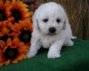 Arriving  bichon frise puppies for sale