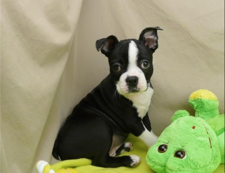 Awake BOSTON TERRIER Puppies Available for New Home