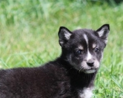 Accountable Alaskan Klee Kai  puppies ready now