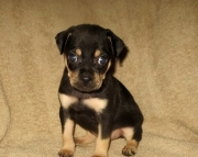 Credited Carlin Pinscher puppies available now