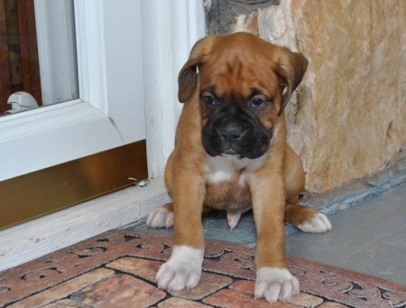 At the Ready BOXERS PUPPIES Puppies Available